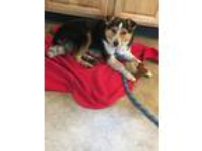 Adopt Banner a Black - with Tan, Yellow or Fawn Australian Shepherd dog in