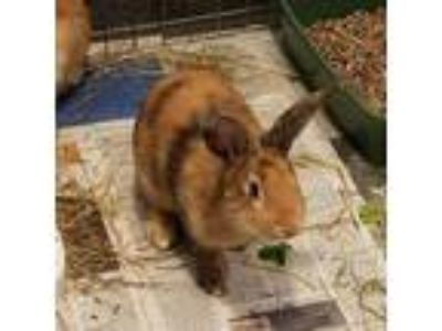 Adopt Bobby 26286-m a Tan Other/Unknown / Other/Unknown / Mixed rabbit in