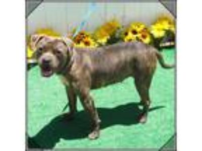 Adopt NEGRA See Bruno a Brindle Pit Bull Terrier / Mixed dog in Marietta
