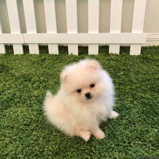 ASDEW Super Adorable Pomeranian Puppies