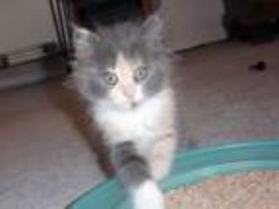 Adopt Jelly Bean a Dilute Calico