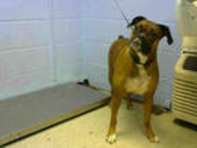 Adopt ROXIE a Brown/Chocolate - with Black Boxer / Mixed dog in Atlanta
