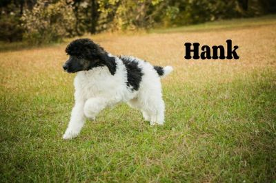Poodle (Standard) PUPPY FOR SALE ADN-101537 - Beautiful AKC Standard Poodle Parti Colored Puppi