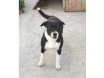 Adopt Aphrodite a Border Collie, Pit Bull Terrier
