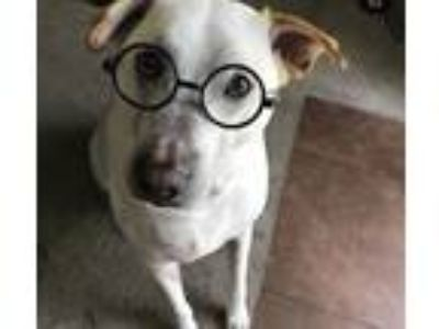 Adopt Duke a White Labrador Retriever / Shar Pei / Mixed dog in Arlington
