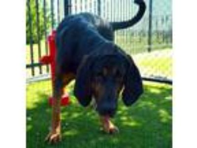 Adopt Bo a Black Bloodhound / Mixed dog in Burleson, TX (25884218)