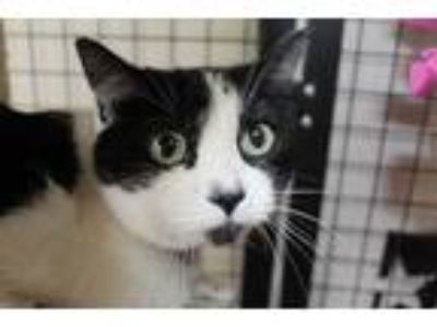 Adopt Buttercup a Black & White or Tuxedo Domestic Shorthair (short coat) cat in