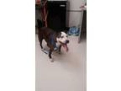 Adopt Opal a Boxer, Pit Bull Terrier