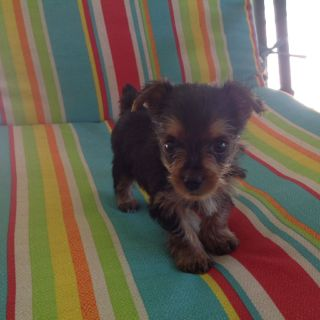 Registered female Yorkie puppy