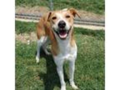 Adopt Chance a Tan/Yellow/Fawn Labrador Retriever / Mixed dog in Irving