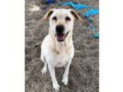Adopt Lily a Tan/Yellow/Fawn Labrador Retriever / Mixed dog in DeKalb
