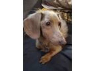 Adopt Percy a Brown/Chocolate - with Tan Dachshund / Mixed dog in Troy