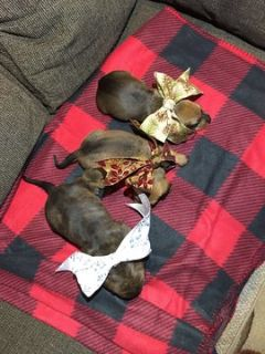 Dachshund PUPPY FOR SALE ADN-105524 - Standard Dachsund Christmas Puppies