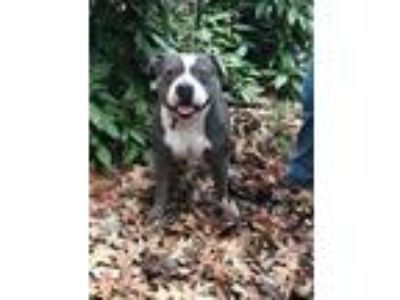 Adopt Kale a American Staffordshire Terrier
