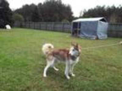 Adopt Rizzley a Siberian Husky