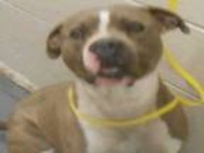 Adopt BUGSY a Staffordshire Bull Terrier