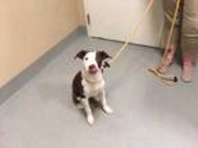 Adopt Bandit a Brown/Chocolate American Pit Bull Terrier / Mixed dog in