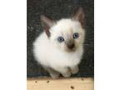 Adopt Mama Lillys Babies a Siamese