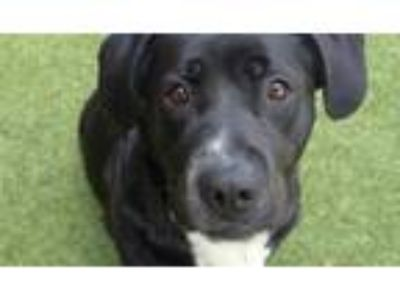 Adopt *DAFFODIL a Black - with White Labrador Retriever / Mixed dog in