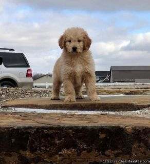 Charlie is a Playful, male Golden Doodle Puppies for sale