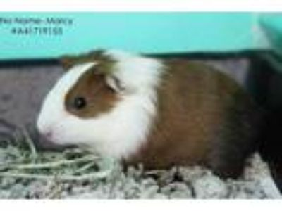 Adopt Marcy - No Name a White Guinea Pig / Mixed small animal in Wilkes Barre