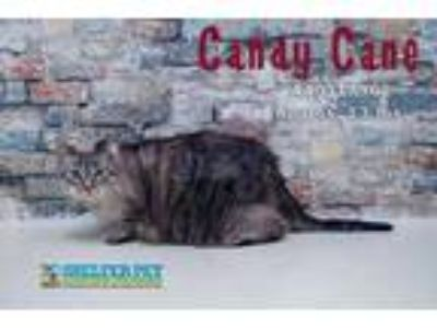 Adopt Candy Cane Lobby 12-7-18 a Gray or Blue Domestic Shorthair / Domestic