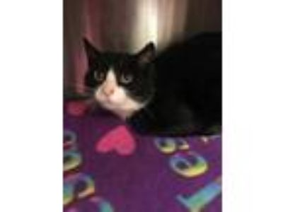Adopt Addison a All Black Domestic Shorthair / Domestic Shorthair / Mixed cat in
