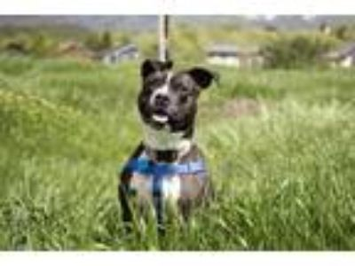 Adopt LoLo a Pit Bull Terrier
