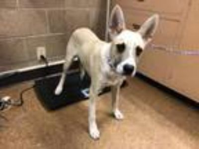 Adopt Kendal a Anatolian Shepherd, Mixed Breed
