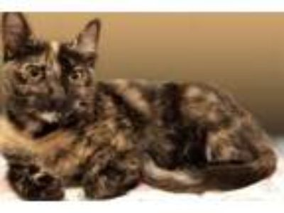 Adopt Claret19 a Domestic Short Hair