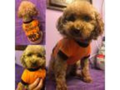 Adopt Willow a Red/Golden/Orange/Chestnut Poodle (Toy or Tea Cup) / Mixed dog in