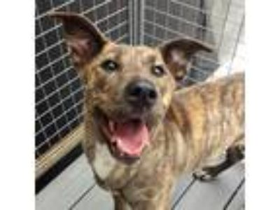 Adopt Cobalt a Brindle Mixed Breed (Medium) dog in Atlanta, GA (25630765)