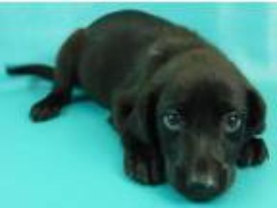 Adopt Mable a Labrador Retriever