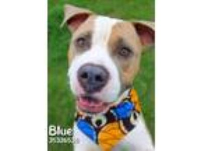 Adopt Blue a Brown/Chocolate American Pit Bull Terrier / Mixed dog in Gulfport