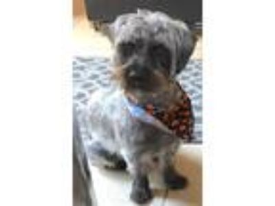Adopt Oliver a Black - with Gray or Silver Schnauzer (Miniature) / Mixed dog in