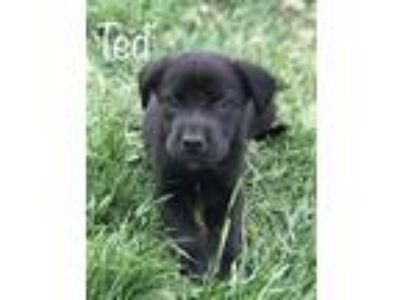 Adopt Ted a Black - with White Labrador Retriever / Border Collie / Mixed dog in