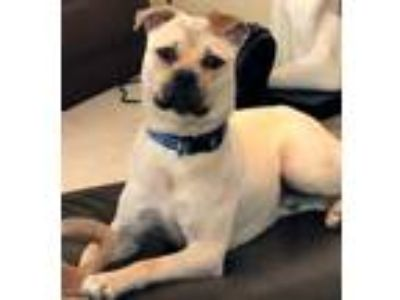 Adopt Boston a Tan/Yellow/Fawn - with Black Pug / Mixed dog in Grapevine