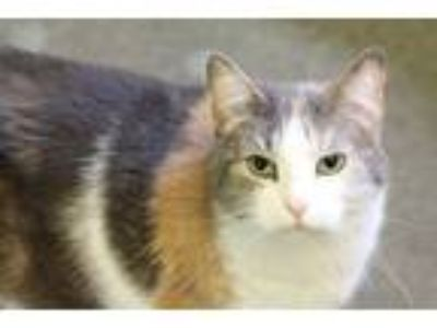 Adopt Lily a Gray or Blue Domestic Shorthair / Mixed cat in Independence