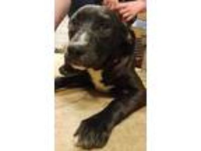 Adopt Cooper a Black Labrador Retriever / Mixed Breed (Large) / Mixed dog in