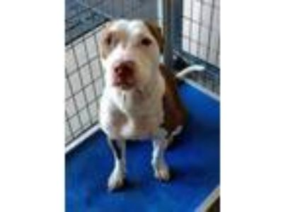 Adopt Tansy a Brown/Chocolate American Pit Bull Terrier / Mixed dog in Graham