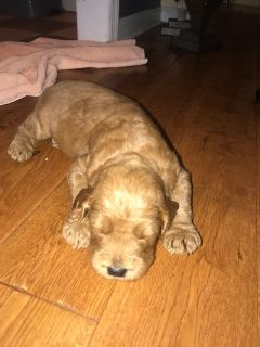 Labradoodle PUPPY FOR SALE ADN-88969 - F1B LabraDoodle Puppies for Sale