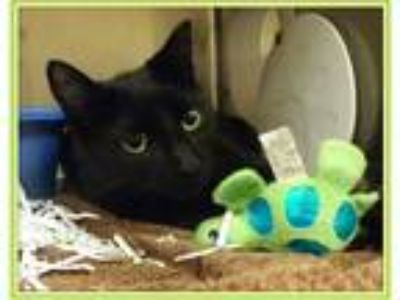 Adopt IGGY-avail 5/19 a All Black Domestic Shorthair (short coat) cat in