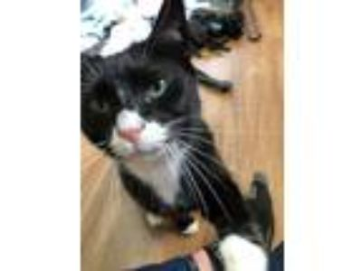 Adopt Kitty a Black & White or Tuxedo Domestic Shorthair / Mixed cat in