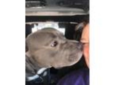 Adopt Ollie a Gray/Blue/Silver/Salt & Pepper American Pit Bull Terrier / Mixed