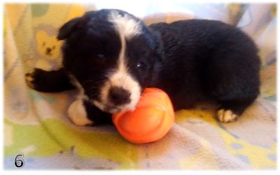 Border Collie PUPPY FOR SALE ADN-107968 - BORDER COLLIE CHRISTMAS PUPPIES IN ARIZONA