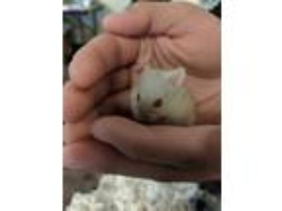 Adopt a Tan or Beige Hamster / Mixed small animal in Camarillo, CA (25050483)