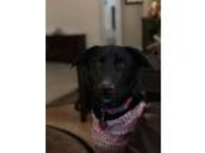 Adopt Luna a Black Labrador Retriever / German Shepherd Dog dog in Hanford