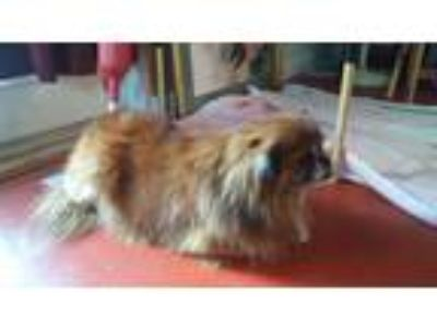 Adopt Benjie in Tallhassee a Tan/Yellow/Fawn Pekingese / Mixed dog in Ft.