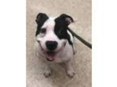 Adopt Chunk a American Staffordshire Terrier, Pit Bull Terrier