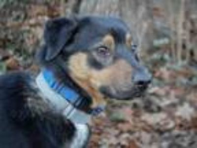 Adopt SILAS a Collie